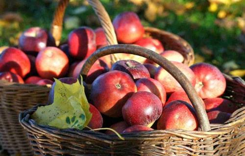 Рекордный сбор яблок в Украине. Прогноз дефицита на 2019 год?